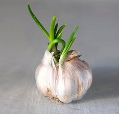 sprouting fresh garlic