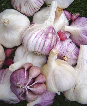 garlicdiversity